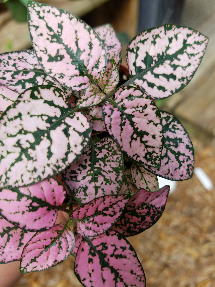 5 houseplants with stunning pink leaves